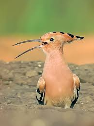 Image result for wiki commons image tongue bird